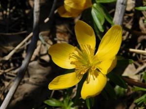 Експерти на РИОСВ – Монтана извършиха контрол на единственото находище защитения растителен вид български ерантис